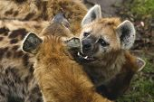foto of hyenas  - The hyena bites the other hyena in his ear - JPG