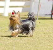 Постер, плакат: Yorkshire Terrier Dog