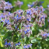 picture of borage  - Blue flowers of Borage  - JPG