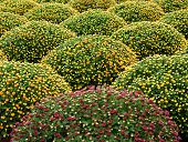 image of chrysanthemum  - Cultivated manicured chrysanthemum houseplants coming into bloom in a nursery or on a chrysanthemum farm - JPG