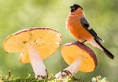 picture of toadstools  - bullfinch is standing on a toadstool watching - JPG