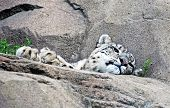 image of snow-leopard  - White Snow Leopard on rocks with foliage - JPG