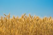 pic of fall-wheat  - wheat field with clear blue sky background - JPG