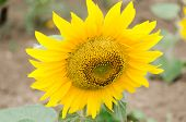 picture of hayfield  - Bright yellow sunflower in the sunflower field - JPG