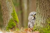 foto of northern hemisphere  - Curious Great grey owl in the winter forest - JPG