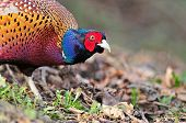 picture of pheasant  - Close up photo of wild pheasant looking for food - JPG