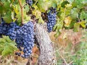 pic of orientation  - Bunches of red rape cabernet sauvignon grapes growing in one of the vineyards in Western Cape - JPG