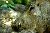picture of razorback  - A razorback hog with tusks.  A head shot  ** Note: Slight blurriness, best at smaller sizes - JPG