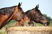 foto of pastures  - Two bay horses eating hay at the pasture in summer - JPG