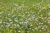 pic of buttercup  - meadow with various wildflowers buttercups and marguerites - JPG