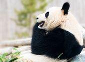 pic of panda bear  - Big Panda bear resting on rock and eating bamboo during daytime - JPG