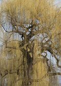 stock photo of weeping  - yellow blooming weeping willow with a gnarled bole and gnarled branches in springtime - JPG