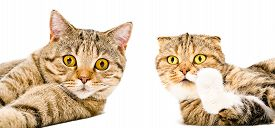 image of scottish-fold  - Portrait of a cat Scottish Straight and cat Scottish Fold close - JPG