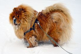 picture of seeing eye dog  - Chow Chow Dog Dina winter and white snow - JPG