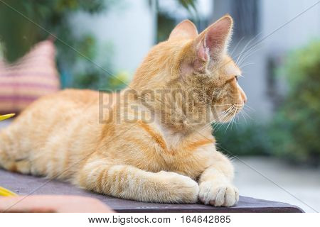 poster of orange cat look some thing. Cute cat cat lying on the wooden floor in the background blurred close up playful cats cats relaxing vacation.
