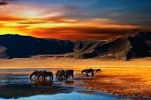 image of bronco  - Drinking horses - JPG