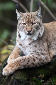 Close-up portrait of resting Eurasian Lynx (Lynx lynx)