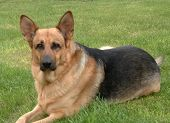 image of german-sheperd  - This is of a german shepard A king sheperd to be precise posing for the camara - JPG