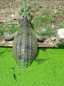 pic of foodchain  - Big Indian crocodile coming out of water - JPG