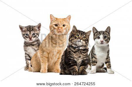 poster of American Polydactyl kitten, European cat, kitten domestic cat, Striped mixed-breed kitten, in front