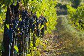 foto of grape-vine  - Lush ripe grapes on the vine 35 - JPG