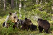 Close Up Of Female Eurasian Brown Bear (ursos Arctos) And Her Playful Cubs In Boreal Forest, Finland poster