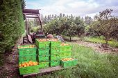 Orange Orchard In Kerikeri, Northland, New Zealand Nz - Harvest Of Citrus Fruit In Plastic Crates On poster