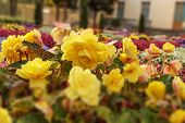 Flowerbed Of Bright Yellow Flowers. Colorful Garden Bed Close-up. Tilt-shift Effect Photo. Shallow D poster