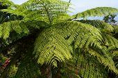Hay-scented fern (Dennstaedtia punctilobula).     poster