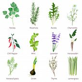 Herbs And Spices. Camomiles Thyne Lemongrass Wild Flowers Cartoon Vector Isolated. Organic Spice And poster