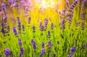Nature Background Concept. Beautiful Summer Nature Meadow Background Sun Beams. Flowering Lavender G poster