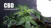 Growing Marijuana In Small Spaces. Cbd And Thc Elements In Cannabis, Cannabinoids, And Health poster