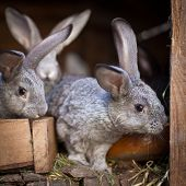 stock photo of rabbit hutch  - Young rabbits popping out of a hutch  - JPG