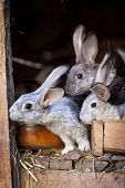 pic of rabbit hutch  - Rabbits eating grass inside a wooden hutch  - JPG