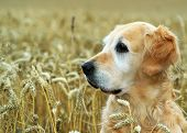 stock photo of golden retriever puppy  - golden retriever in field wheat - JPG