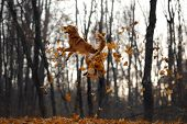 The Dog Jumps Behind The Leaves. Nova Scotia Duck Tolling Retriever In Nature. Pet In Autumn Park poster