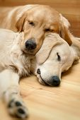 stock photo of cute dog  - View of two dogs lying  - JPG