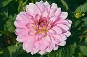 Pink Dahlias Blooming poster
