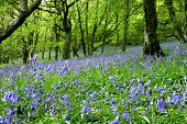 An ancient bluebell forest in the Cambrian Mountains, Wales, UK.