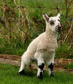 stock photo of the lost sheep  - White and brown speckled lamb in a field in the spring - JPG