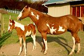 picture of paint horse  - Beautiful Overo Paint Horse with her little foal - JPG