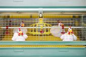 image of hatcher  - Demonstration of chicken industrial incubator with soft toy chickens - JPG