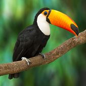image of jungle birds  - Toucan  - JPG