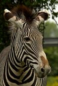 Close-up of a Grevy's Zebra