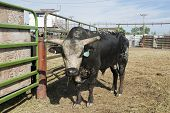 picture of chute  - Rodeo bull in a pen behind the chutes - JPG