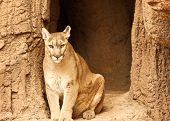 pic of mountain lion  - View of a mountain lion in captivity - JPG