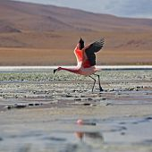 Flamingos On The Laguna (lake) Blanco Bolivia