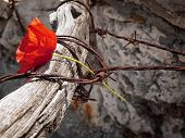 picture of auschwitz  - Conceptual image about struggle for freedom is represented with red poppy flower and rusty barbed wire - JPG