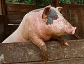 Pork. Pig Stands On Its Hind Legs, Resting On The Formwork Paddock.  Pig In Private Farms. Animals.