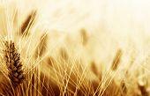 foto of fall-wheat  - Wheat field  - JPG